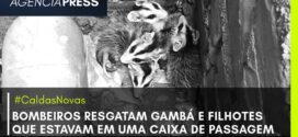 🦨👩🚒 #CaldasNovas | BOMBEIROS RESGATAM GAMBÁ E FILHOTES